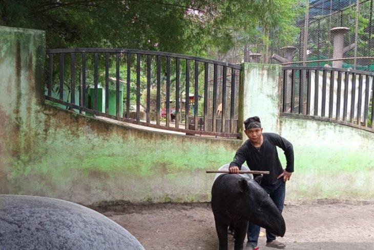 Peby, tapir koleksi Taman Rimba Jambi hamil tua dan segera melahirkan