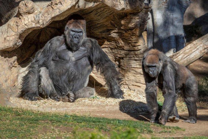 Dua gorila ini terjangkit COVID-19