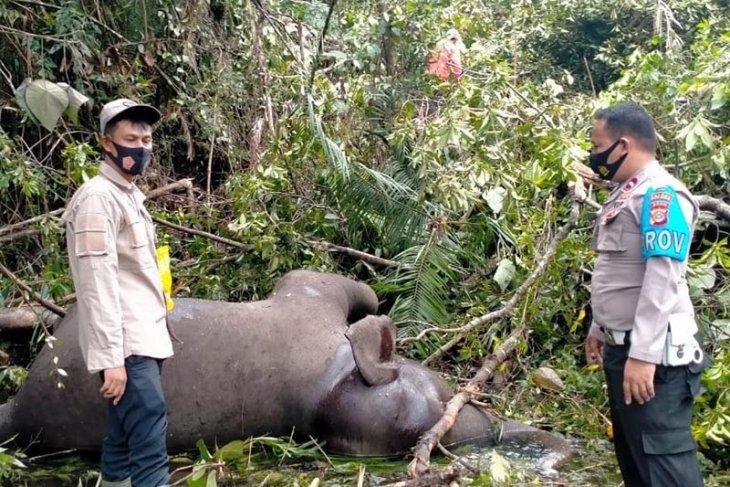Ketika gajah yang tak lagi betah di hutan