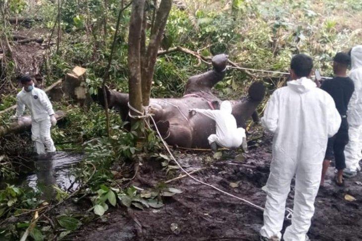 Tim BKSDA temukan bayi gajah dalam perut gajah mati di Bener Meriah