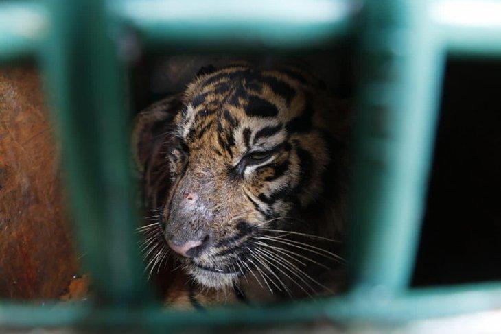 Seekor harimau dilaporkan mangsa ternak warga di Aceh Timur