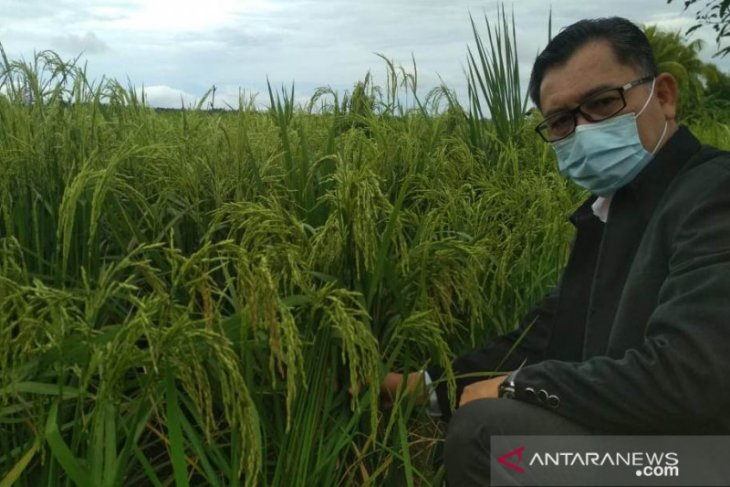 Distan TPH Kalbar targetkan produksi padi sebesar 885.000 ton GKG tahun ini