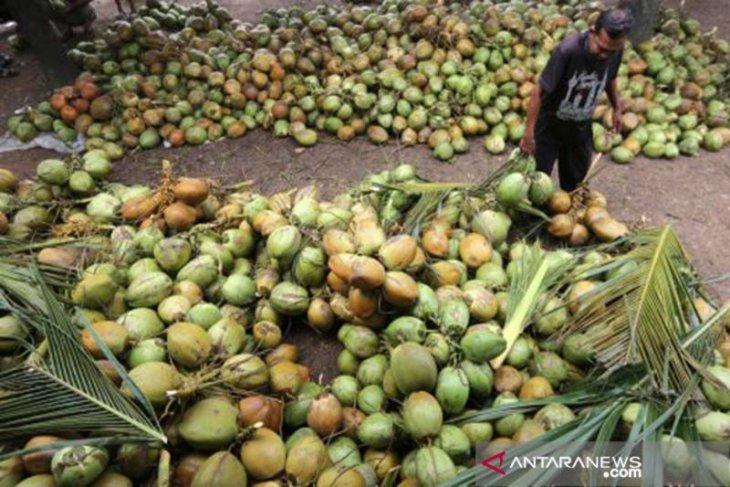 Anggota DPR sebut Aceh Timur layak kembangkan kelapa pandan wangi