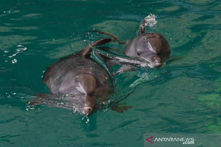 Bayi lumba-lumba Uchuy menambah koleksi satwa Taman Safari Prigen