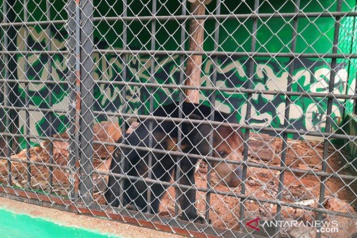 Lima beruang madu dibangkitkan instingnya sebelum dilepas ke alam bebas