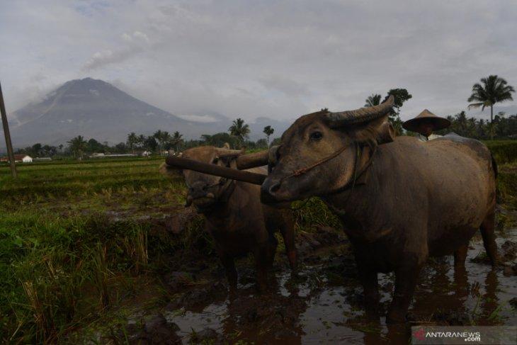 Kesiapsiagaan masyarakat dan Pemkab Lumajang hadapi erupsi Gunung Semeru