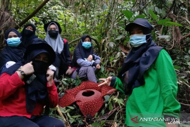 Rafflesia tuan-mudae mekar sempurna di Cagar Alam Maninjau