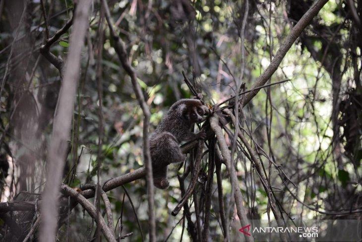 Pelepasan enam satwa liar langka endemik Bangka Belitung