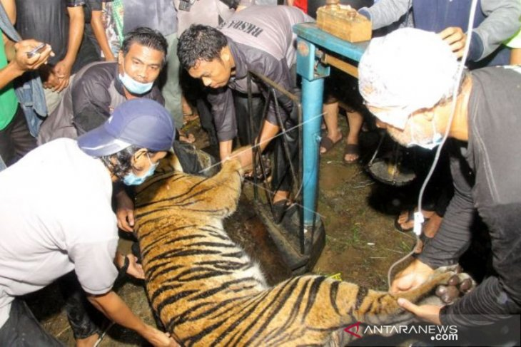 Sumatran tiger in Aceh found safe but in weak condition
