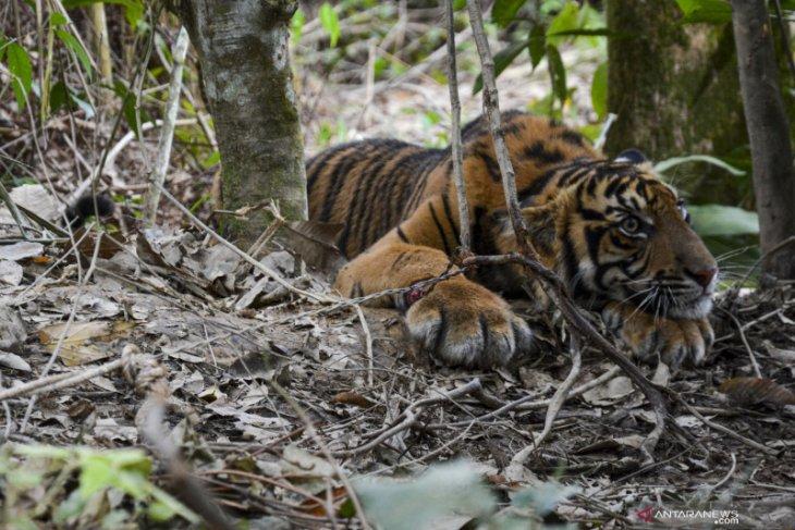 Anak harimau sumatera yang kena jerat dilepas ke hutan Gunung Leuser