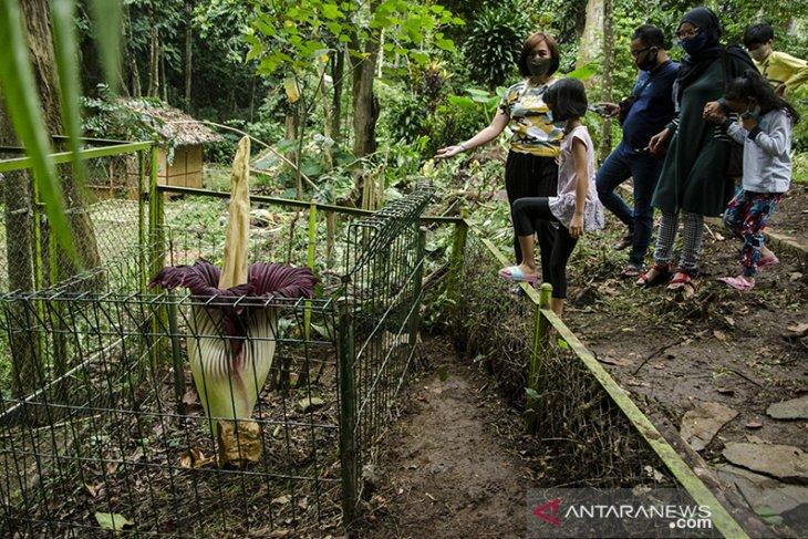Bunga bangkai raksasa mekar di kota Bandung