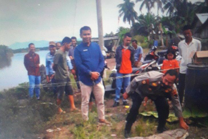 Meresahkan, seekor buaya panjang empat meter ditangkap