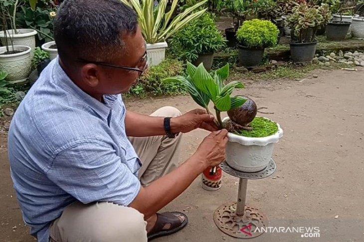Raih omzet jutaan rupiah dari bonsai kelapa
