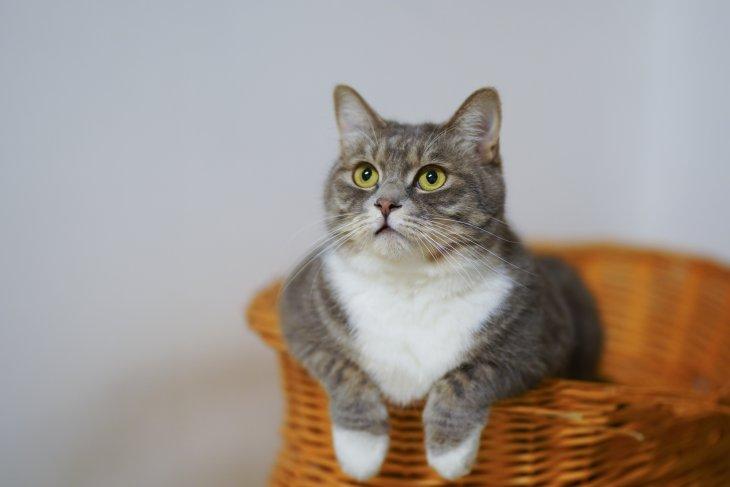 Jangan beri nasi kepada kucing karena potensial kena diabetes