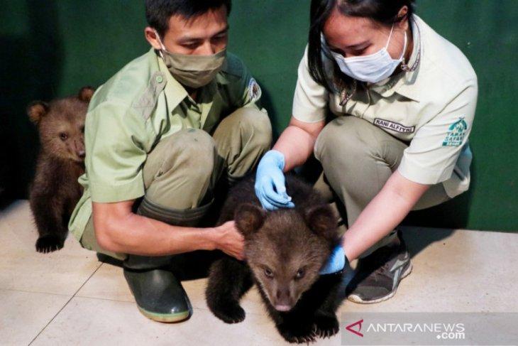 Dua bayi beruang cokelat Taman Safari Bogor dapat imunisasi perdana