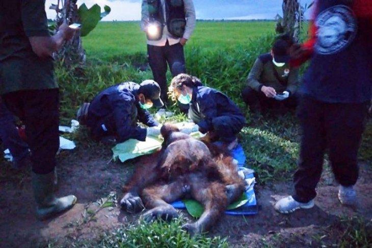 Orangutan dengan luka sabetan senjata tajam turun ke pesawahan cari makanan