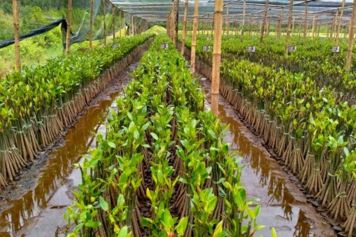 KKP membangun kebun bibit mangrove di Pasuruan Jawa Timur