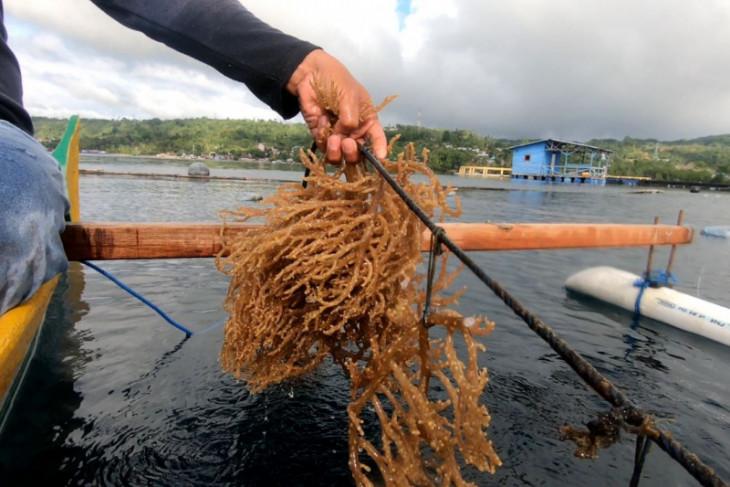 KKP bakal bangun sentra rumput laut