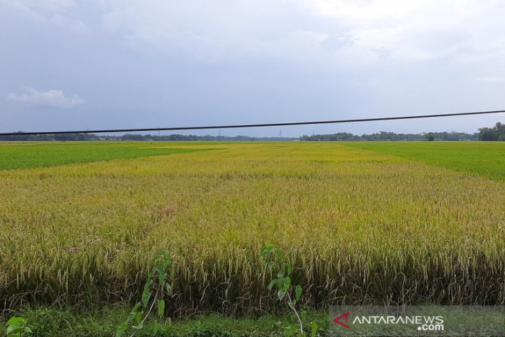 Bulog to prioritize absorbing domestically produced rice over imports