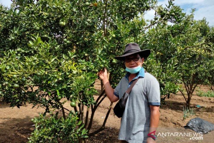 Warga Rejang Lebong Bengkulu kembangkan perkebunan jeruk organik