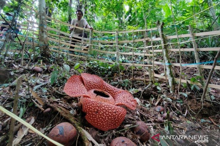 Bunga Rafflesia Arnoldii mekar di Selupu Rejang