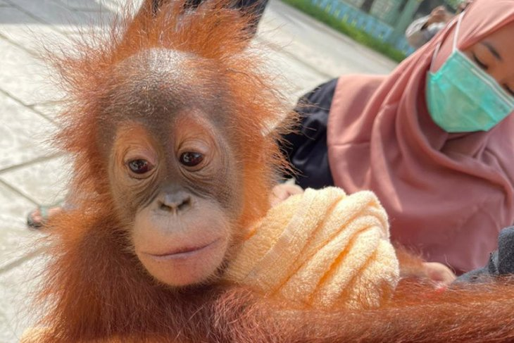 Aceh Police investigators apprehend four orangutan traffickers