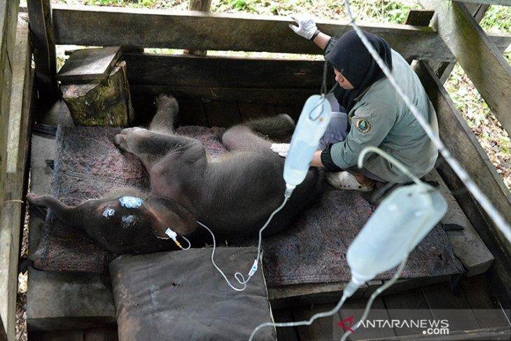 BKSDA: Bayi gajah terjebak lumpur masih dirawat intensif
