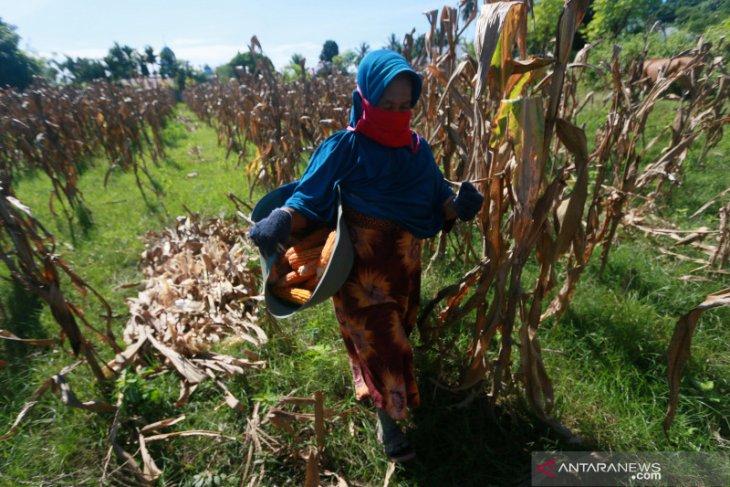 BPTP Gorontalo siapkan 4 ton benih jagung bantuan untuk petani