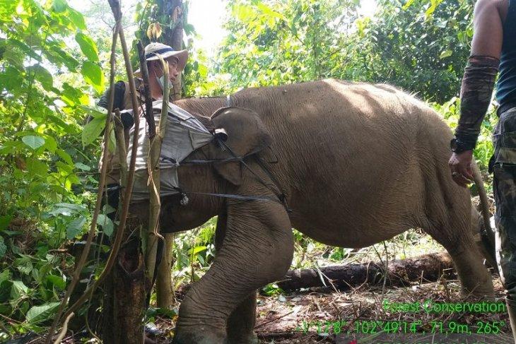 Mengubah konflik manusia-gajah menjadi 'koeksistensi' penyangga TNBT