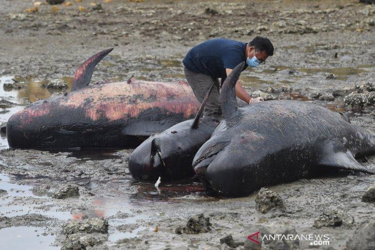 KKP dalami penyebab mamalia laut yang terdampar massal di Indonesia