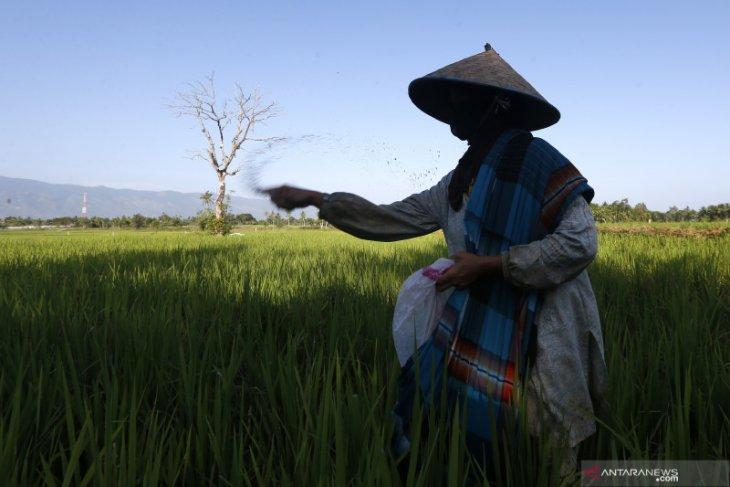 Banyak petani Abdya tidak nikmati pupuk subsidi, ternyata ini penyebabnya