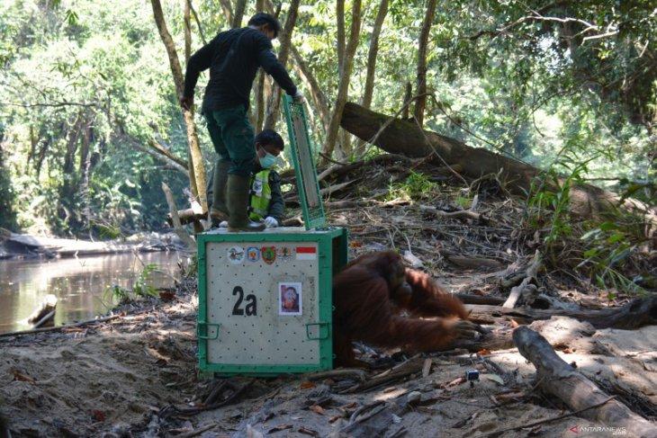 BKSDA Kalteng lepasliarkan tujuh orangutan