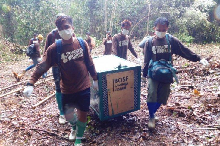 Yayasan BOSF lakukan pelepasliaran 10 orangutan ke hutan