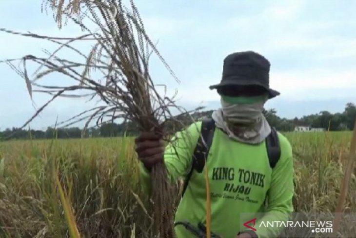 Hama wereng serang tanaman padi di Magetan