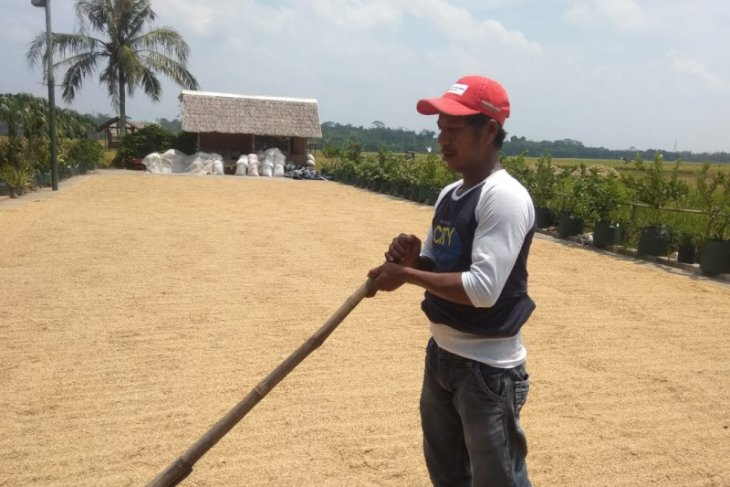 Masuk panen, Perum Bulog Lebak-Pandeglang maksimalkan penyerapan gabah petani