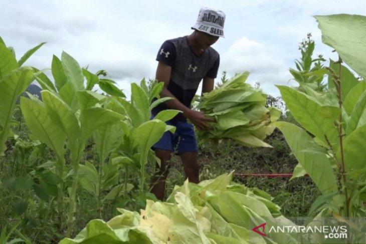 Petani di lereng Gunung Sinabung kembangkan tembakau berkualitas