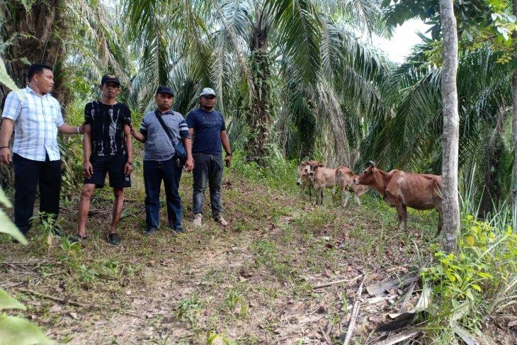 Pelaku pencurian empat ekor lembu betina ditangkap Polsek Besitang