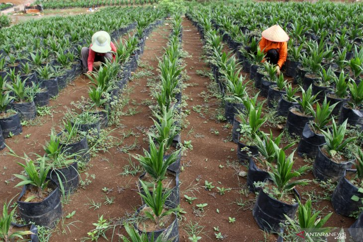 Govt-stakeholder partnership targets rejuvenating palm oil plantations