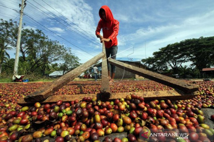 36 ton kopi robusta Manggarai  Timur diekspor ke Belanda