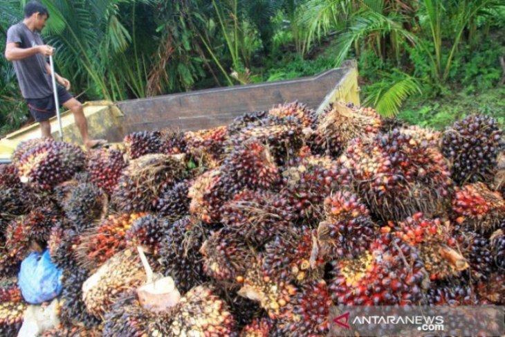 Harga TBS kelapa sawit di Nagan Raya naik jadi Rp1.701/kilogram