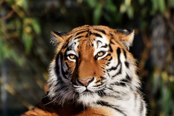Seekor Harimau Sumatera terlihat oleh remaja di Kabupaten Labura