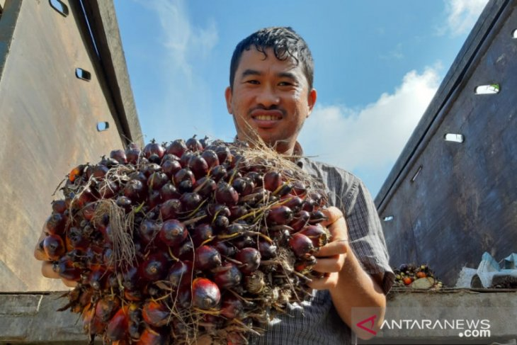 TBS kelapa sawit di Kalbar stabil diharga Rp2.000 per kilogram