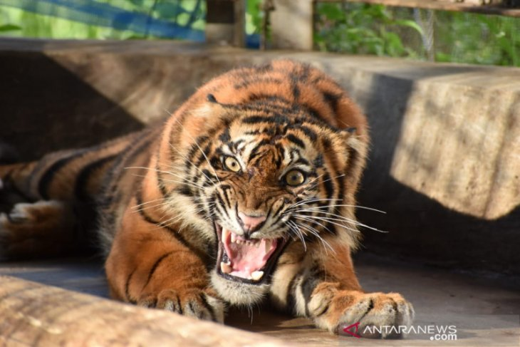 Harimau Ciuniang Nurantih dilepasliarkan ke Taman Nasional Kerinci Seblat