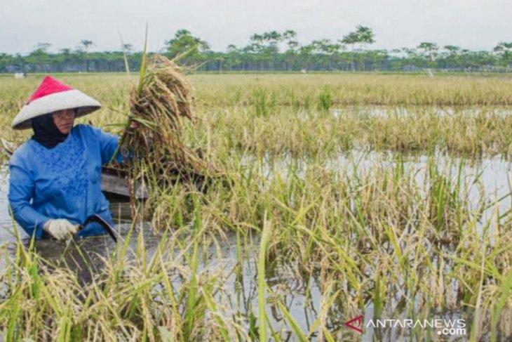 Waduh, ratusan hektare sawah di Karawang puso akibat terendam banjir