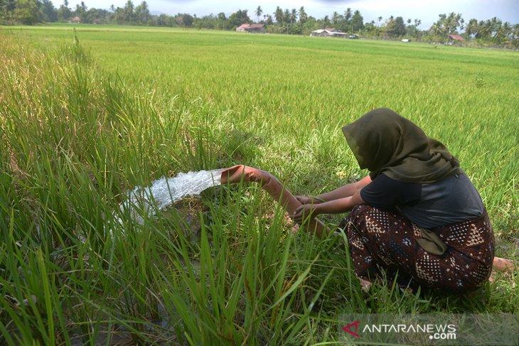 Petani Distribusikan Air Sungai ke Sawah