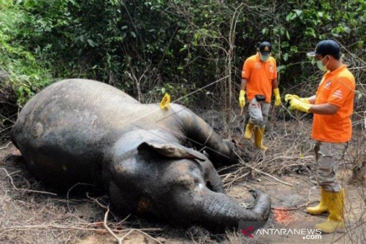 Lagi, seekor gajah liar ditemukan mati di Aceh Jaya