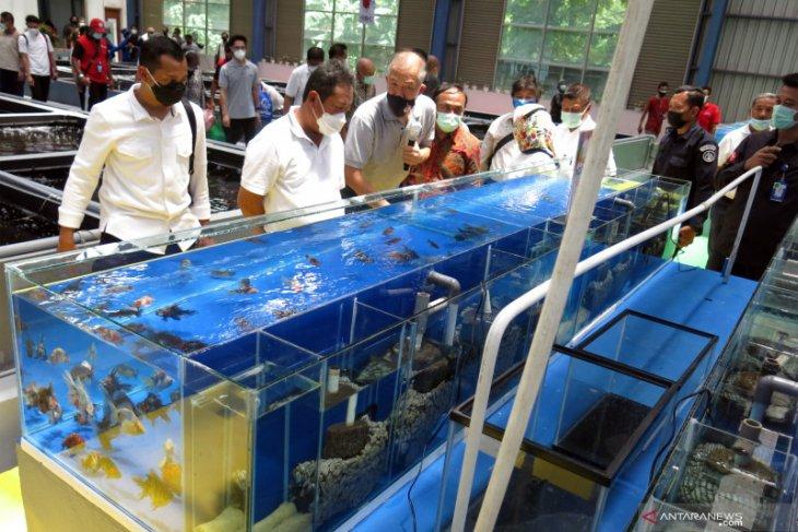 Menjaga kedigdayaan komoditas ikan hias asal  Indonesia