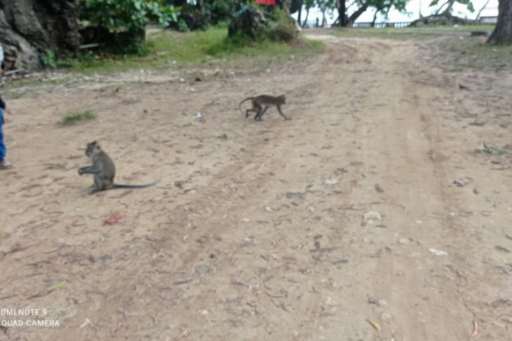 Habitat terusik, kawanan monyet berkeliaran cari makan di daerah wisata