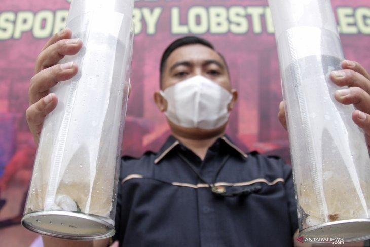 Ungkap Kasus Benih Lobster Ilegal