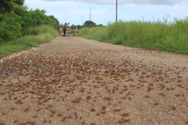 Hama belalang kumbara masih menyerang desa di sumba barat daya